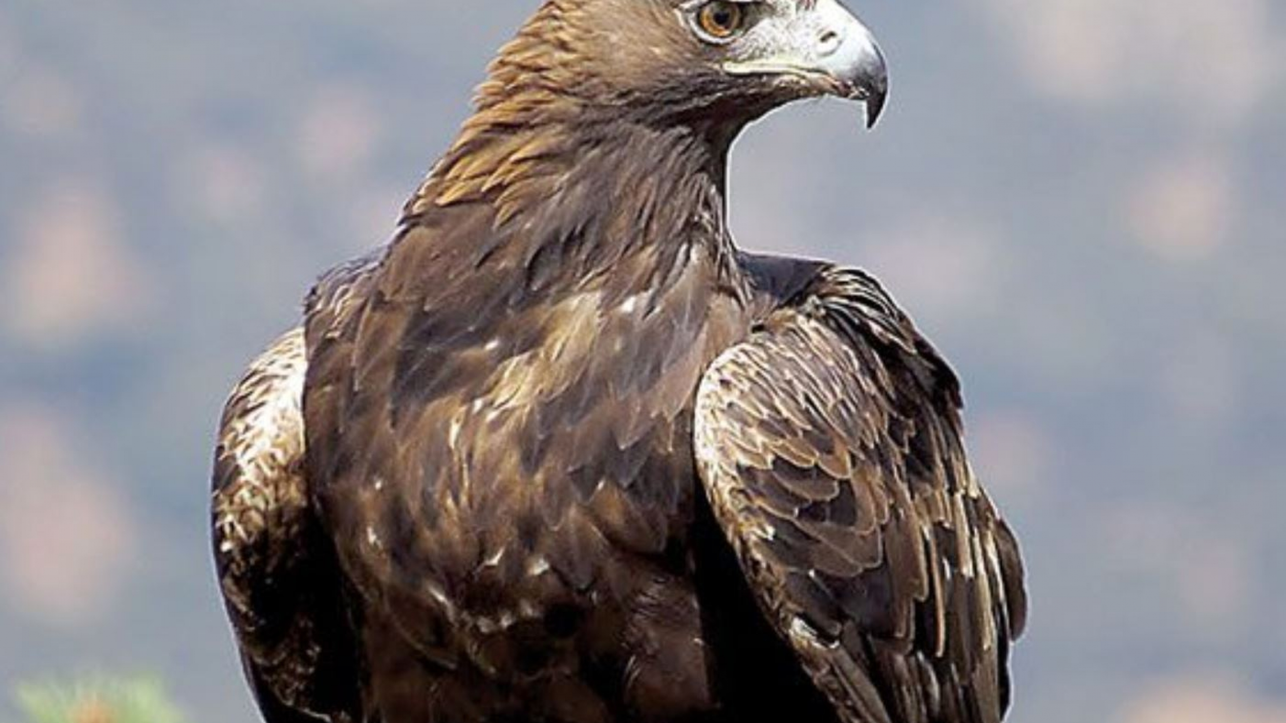 Golden Eagle Sitting Close Up View