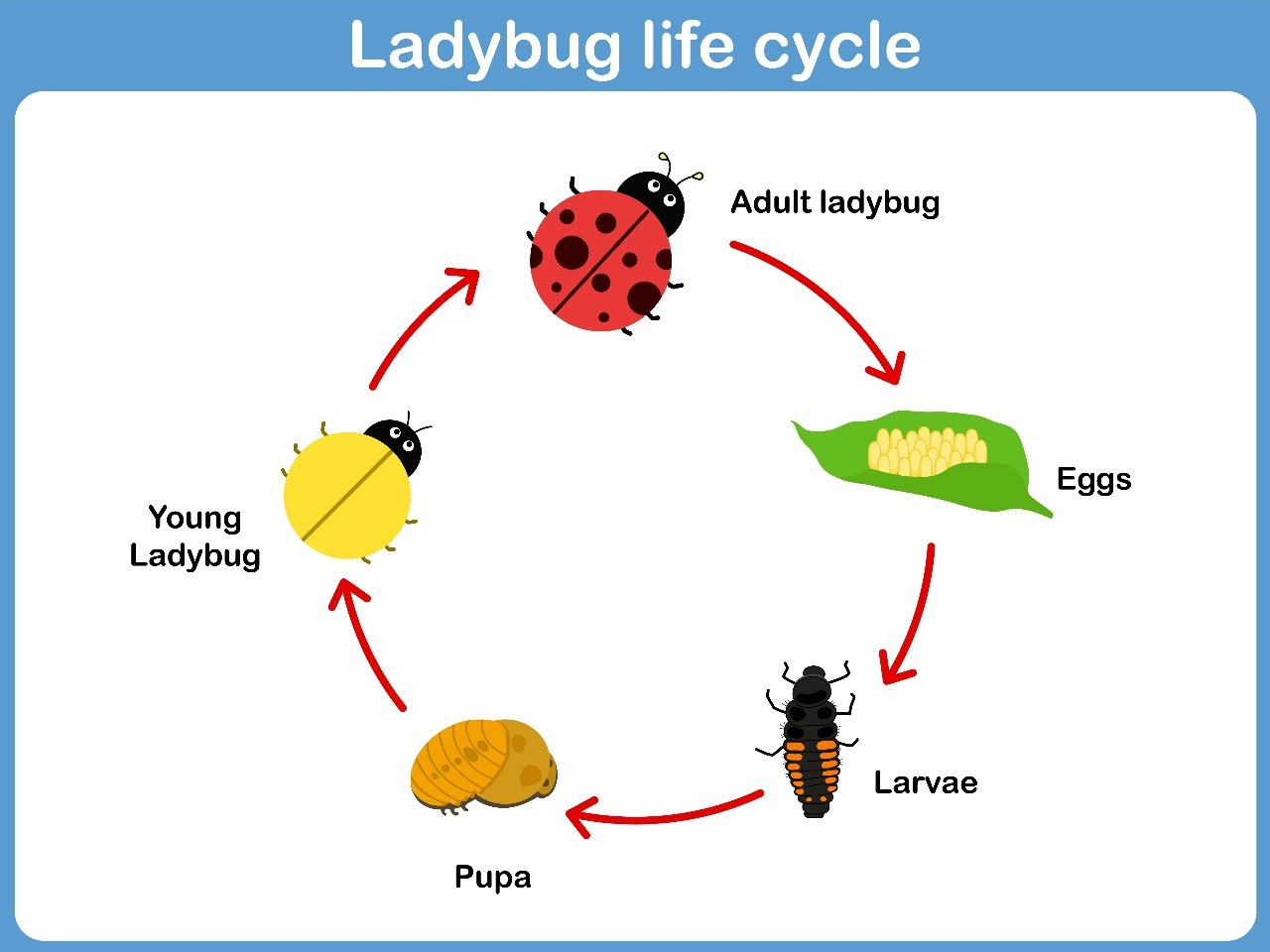 Lifecycle of Ladybug
