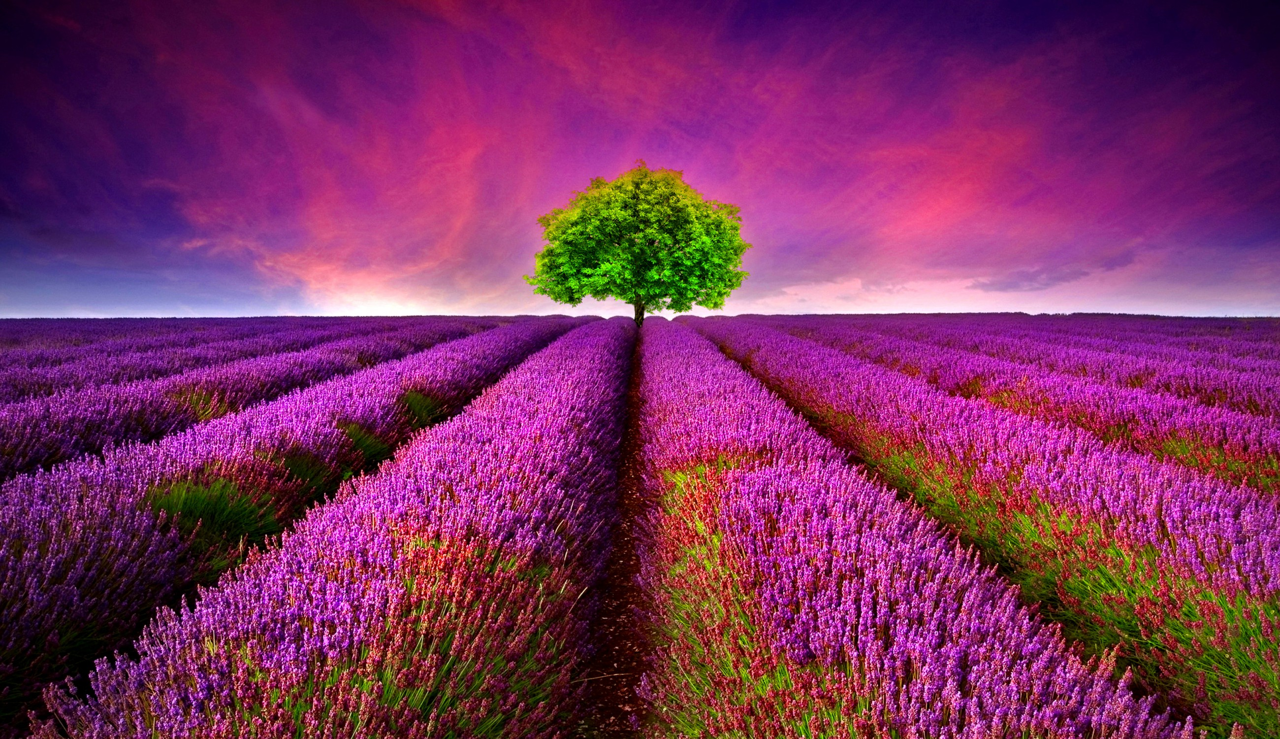 3d Purple Flower Fields
