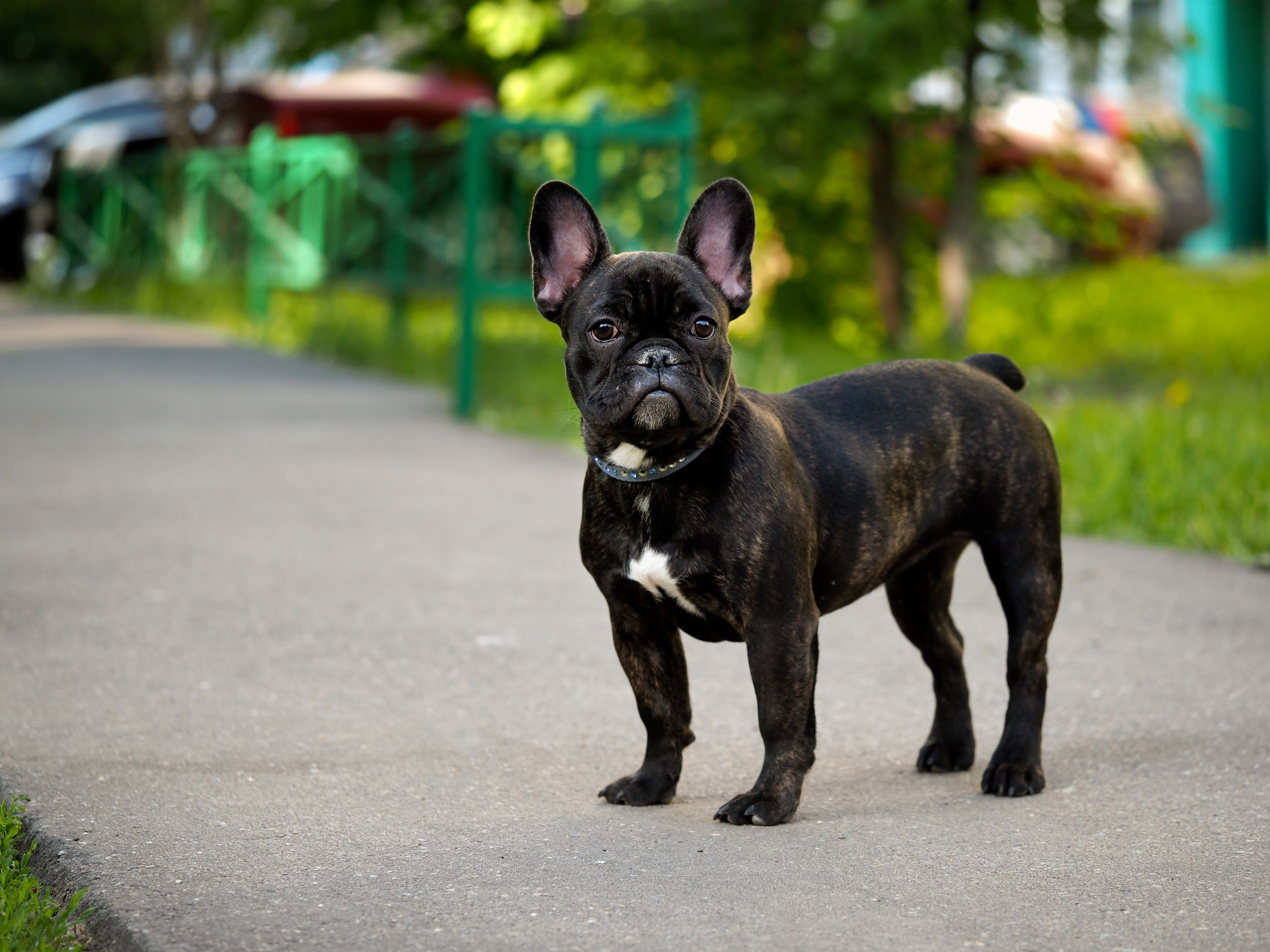 French Bulldog On Sidewalk