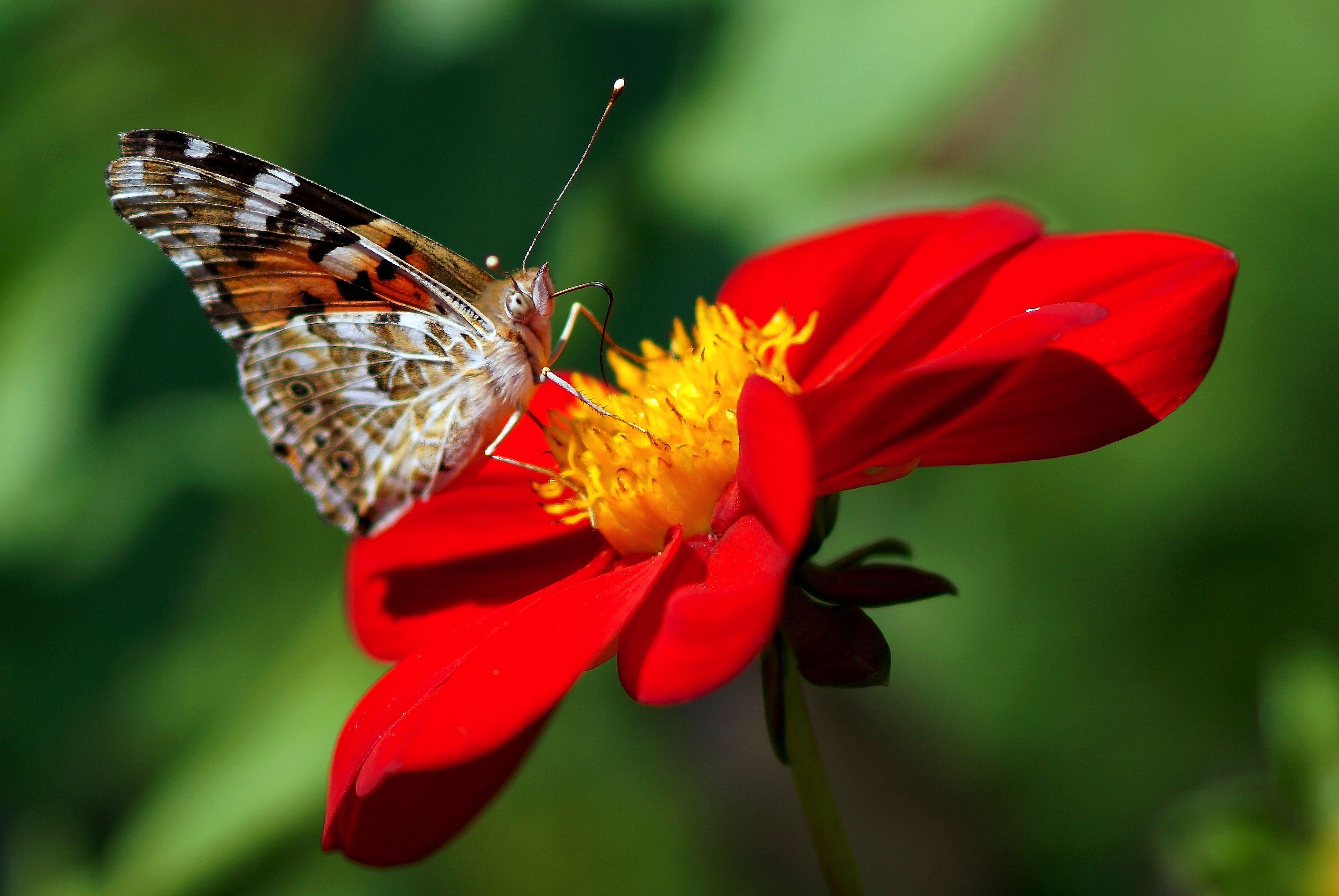 Dahlia Butterfly On Red Flower