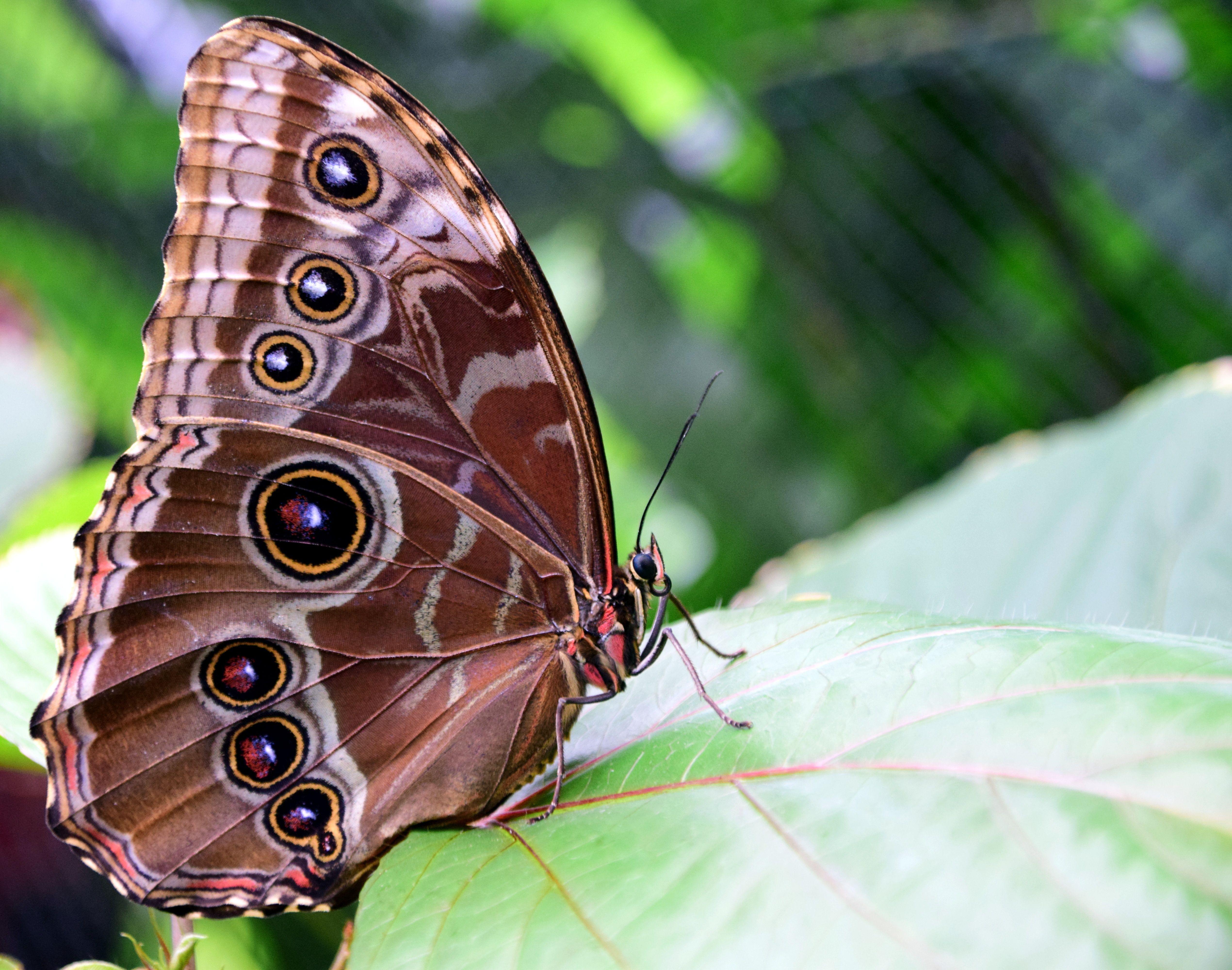 morpho peleides butterfly closeup