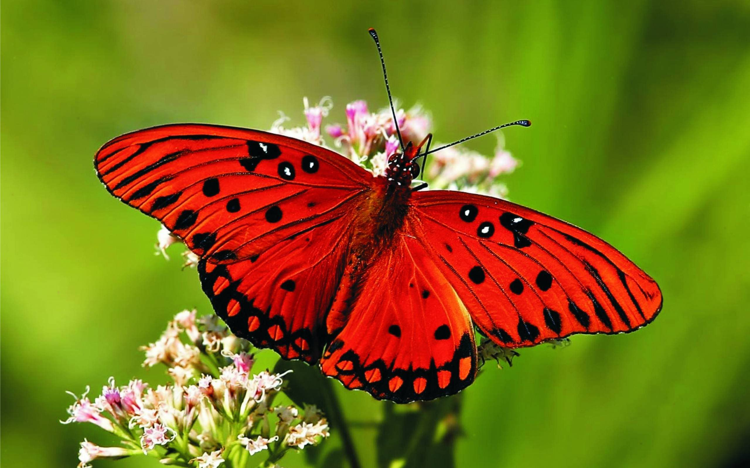 red butterfly black dotted