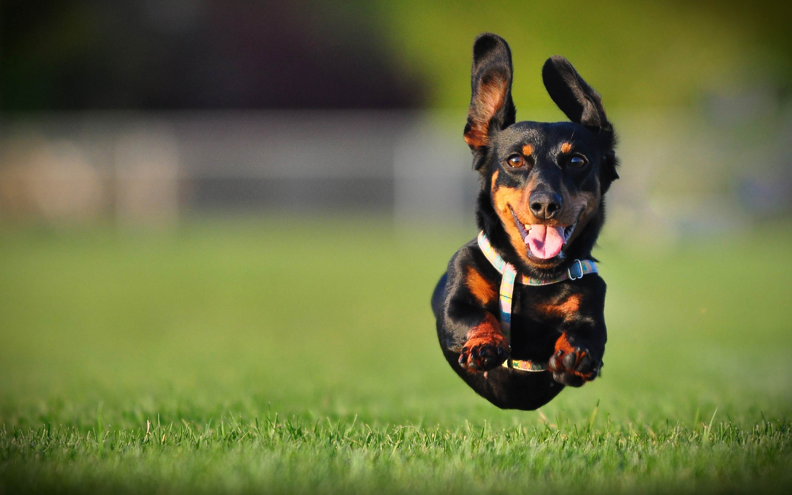 Dachshund Dog Jumps On Grass