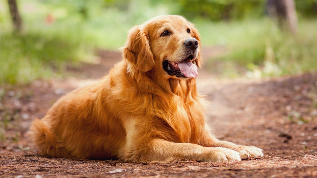 golden retriever sitting side view