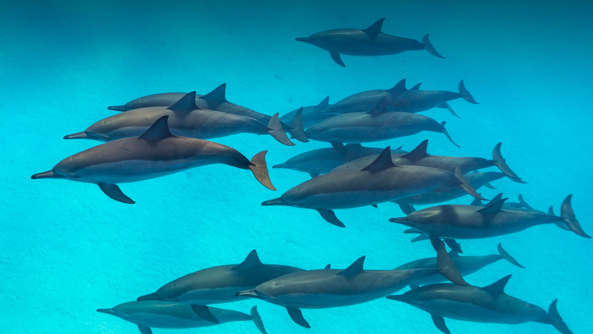Dolphins Flock Underwater