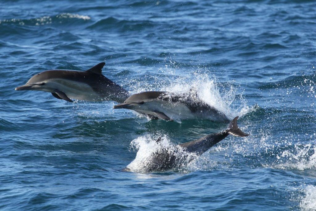 Dolphins Swims Over The Sea