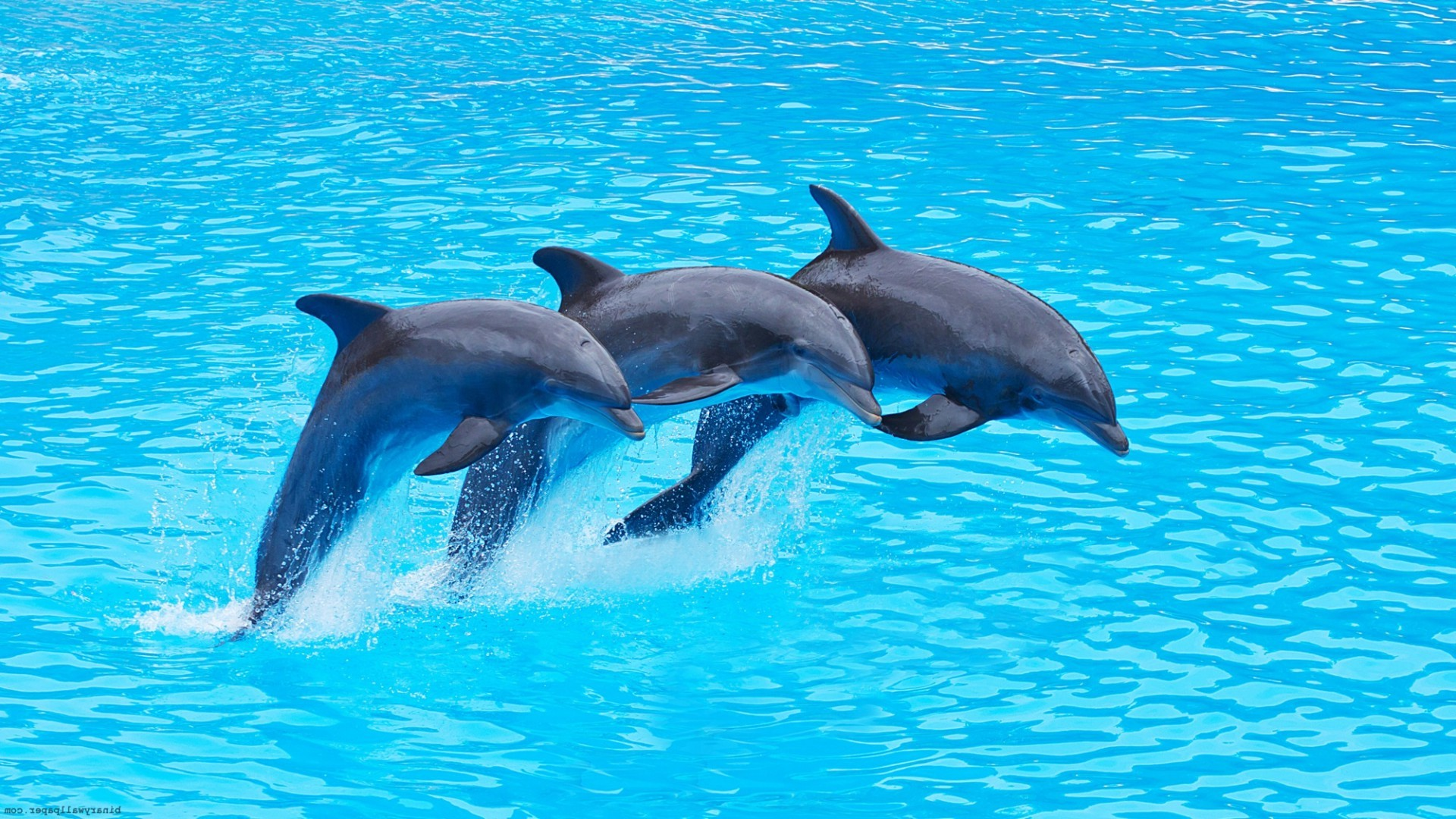 three dolphins jump from water