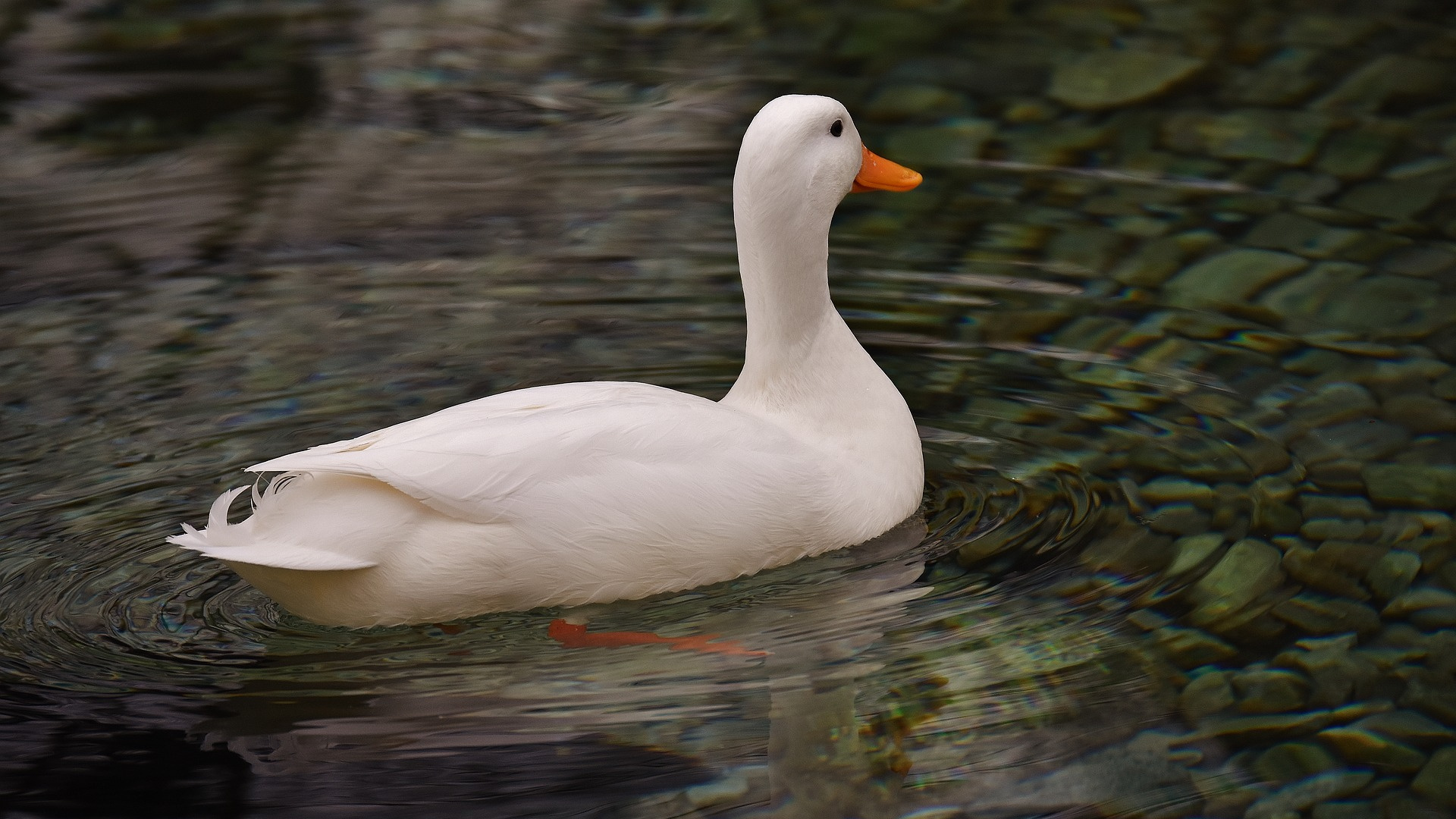 american pekin duck bird swim
