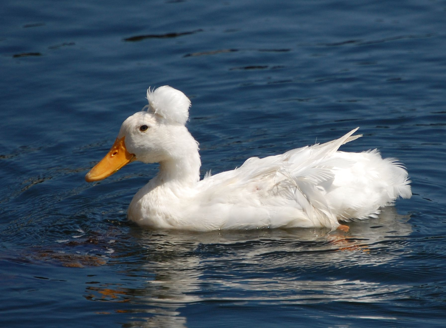 domestic crested duck