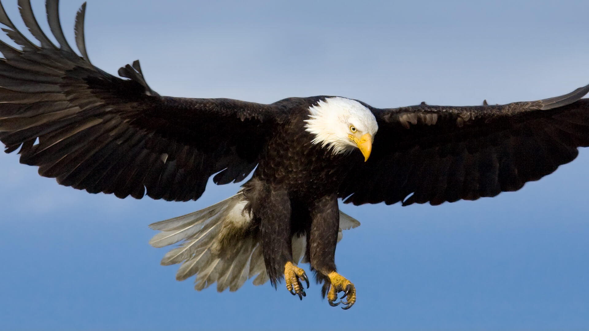 hero bald eagle