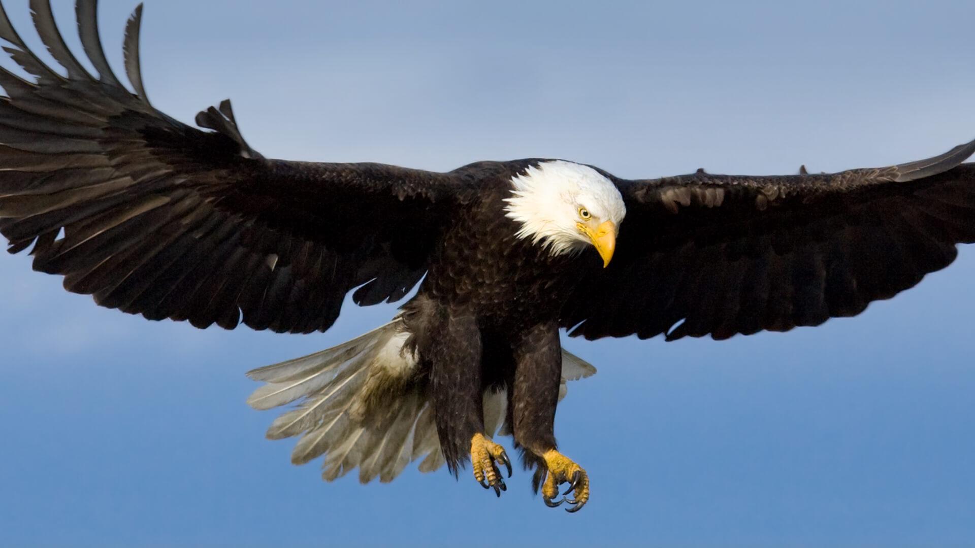 Hero Bald Eagle
