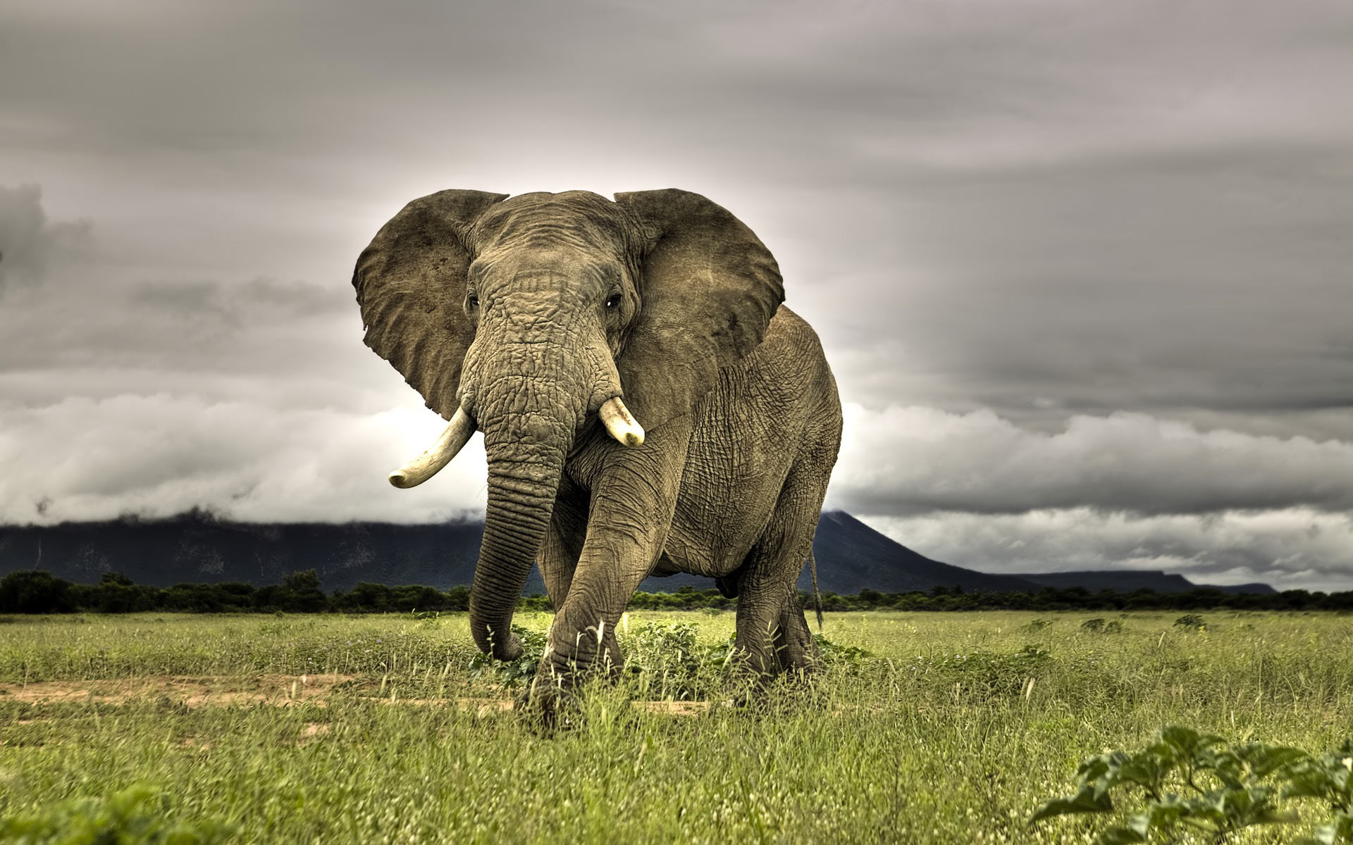 African Bush Elephant Field Dark Clouds