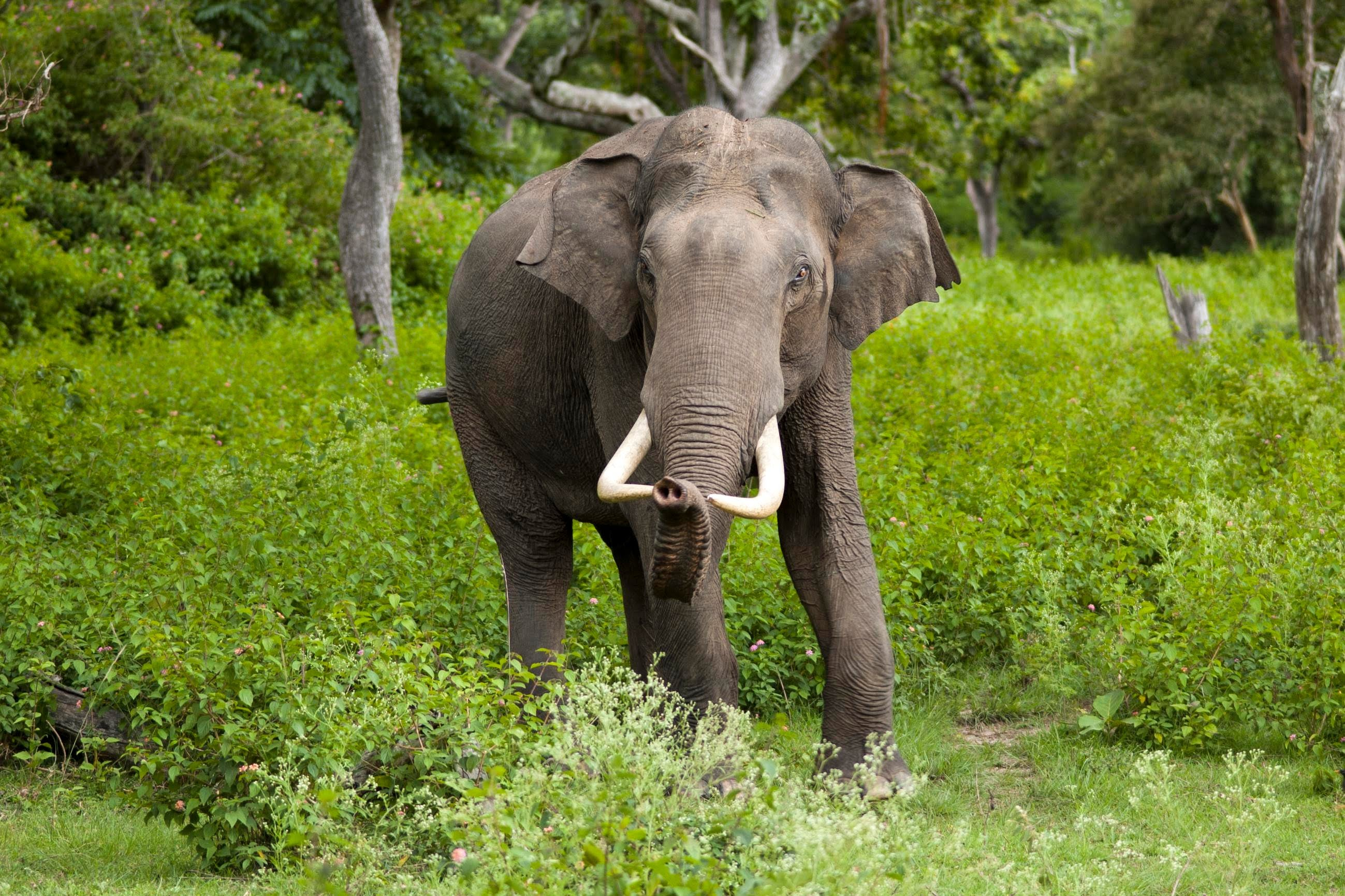 asian elephant forest