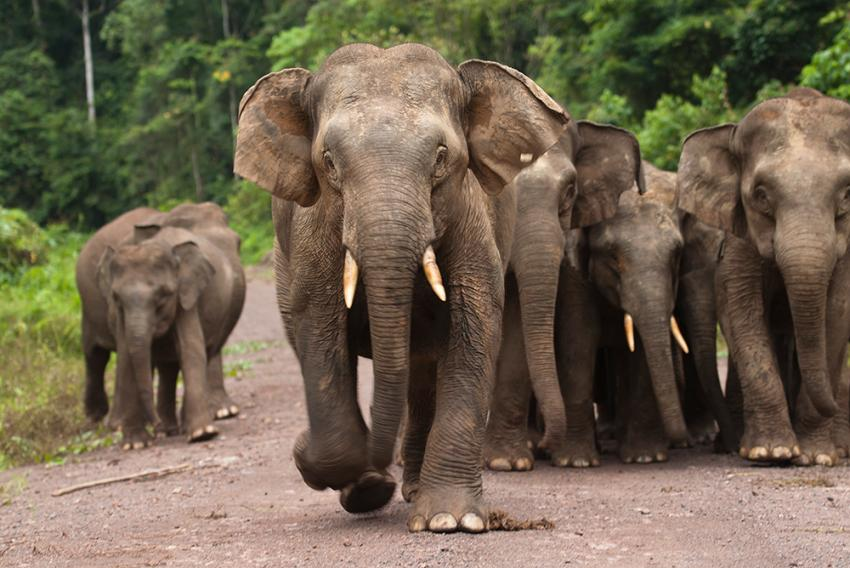 Borneo Elephants Walking Together