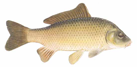common carp big fish