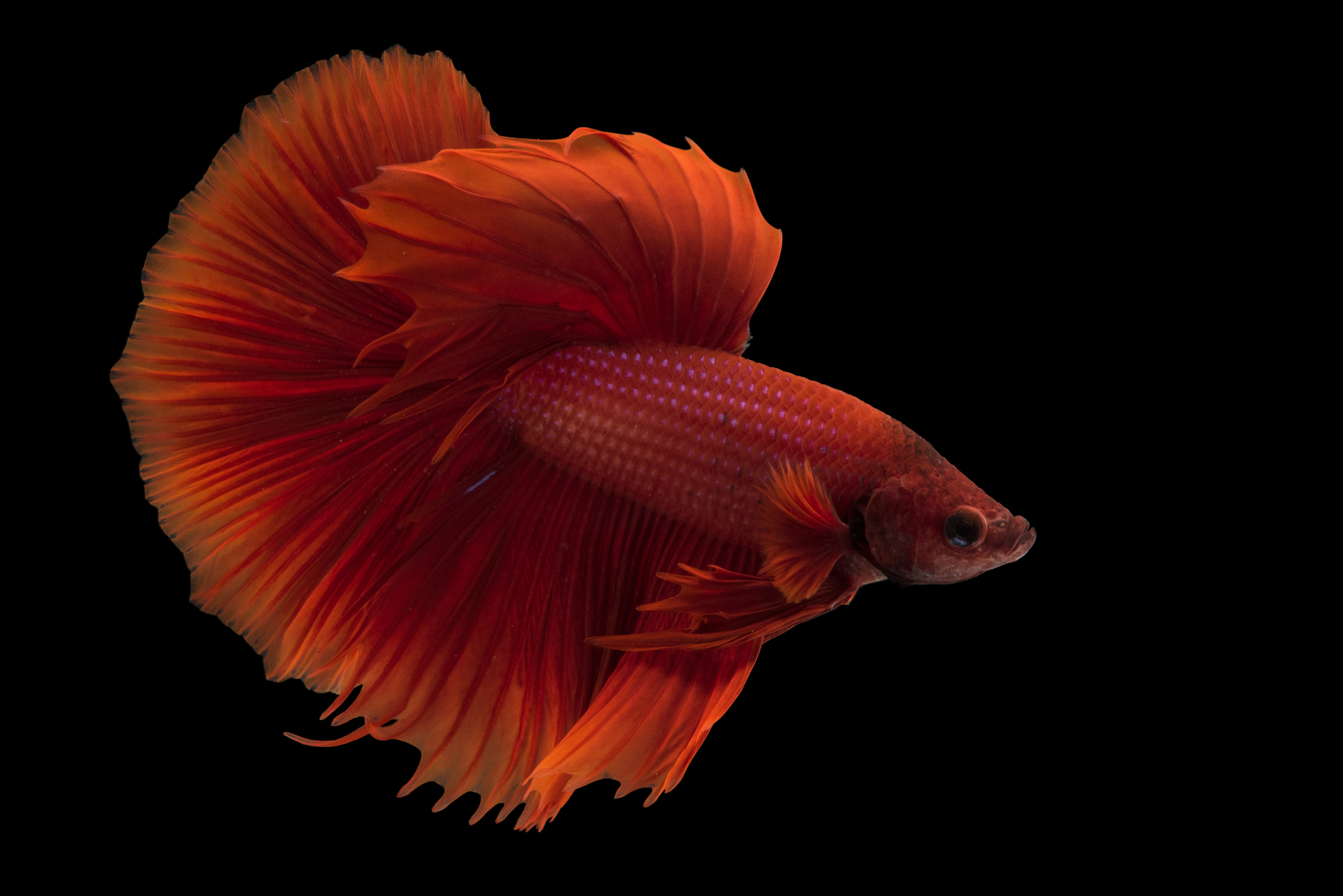siamese fighting fish red