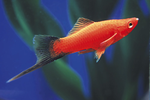 swordtail assorted xiphophorus helleri