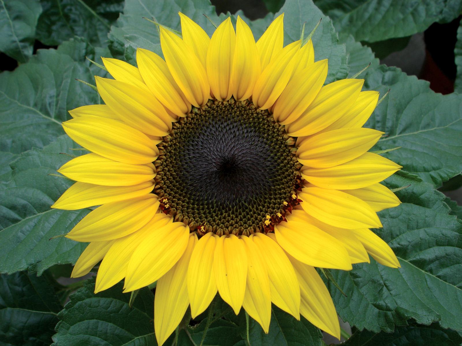 Helianthus Annuus Choco Sun Flower