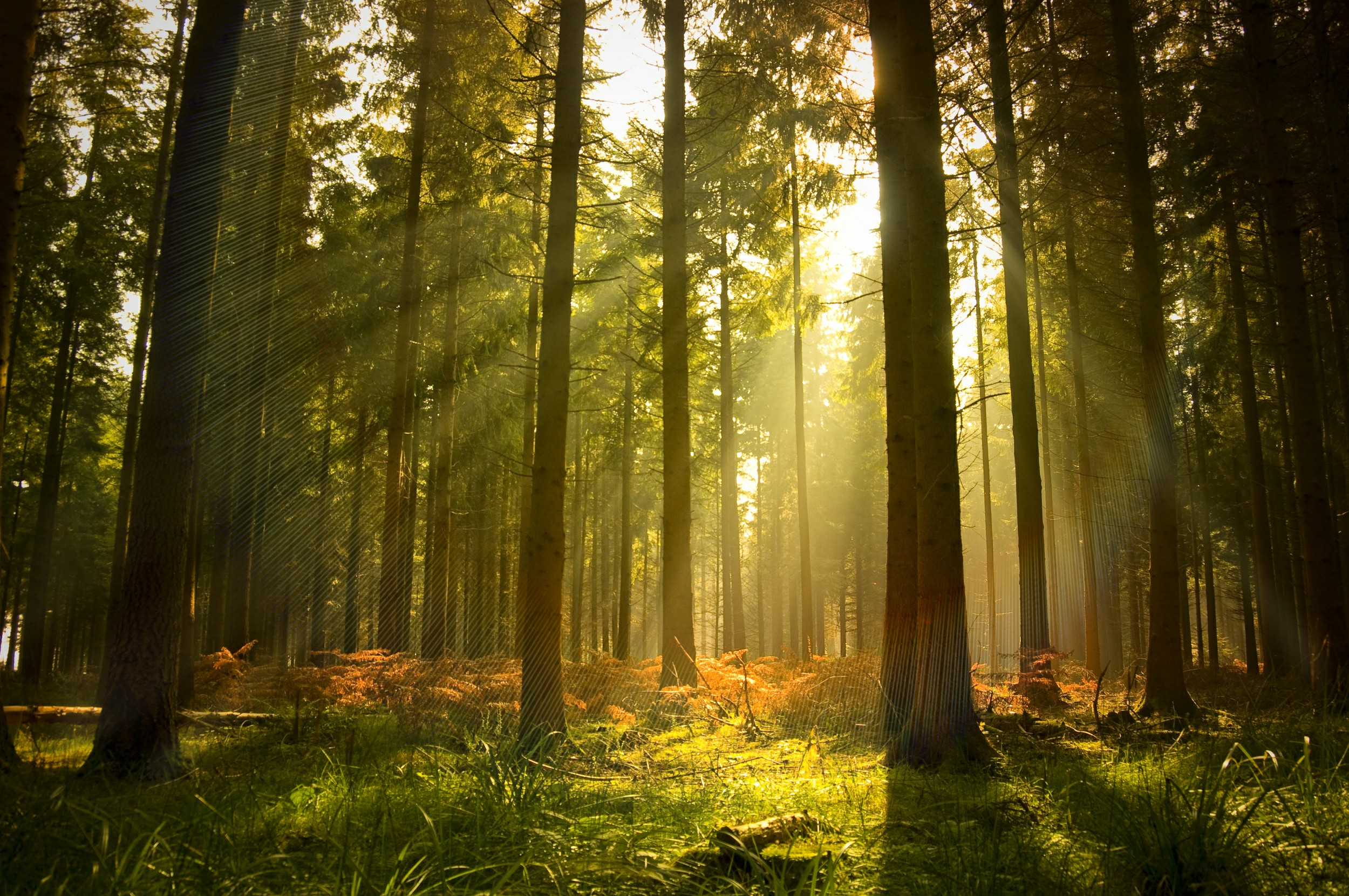 forest sun rays trees
