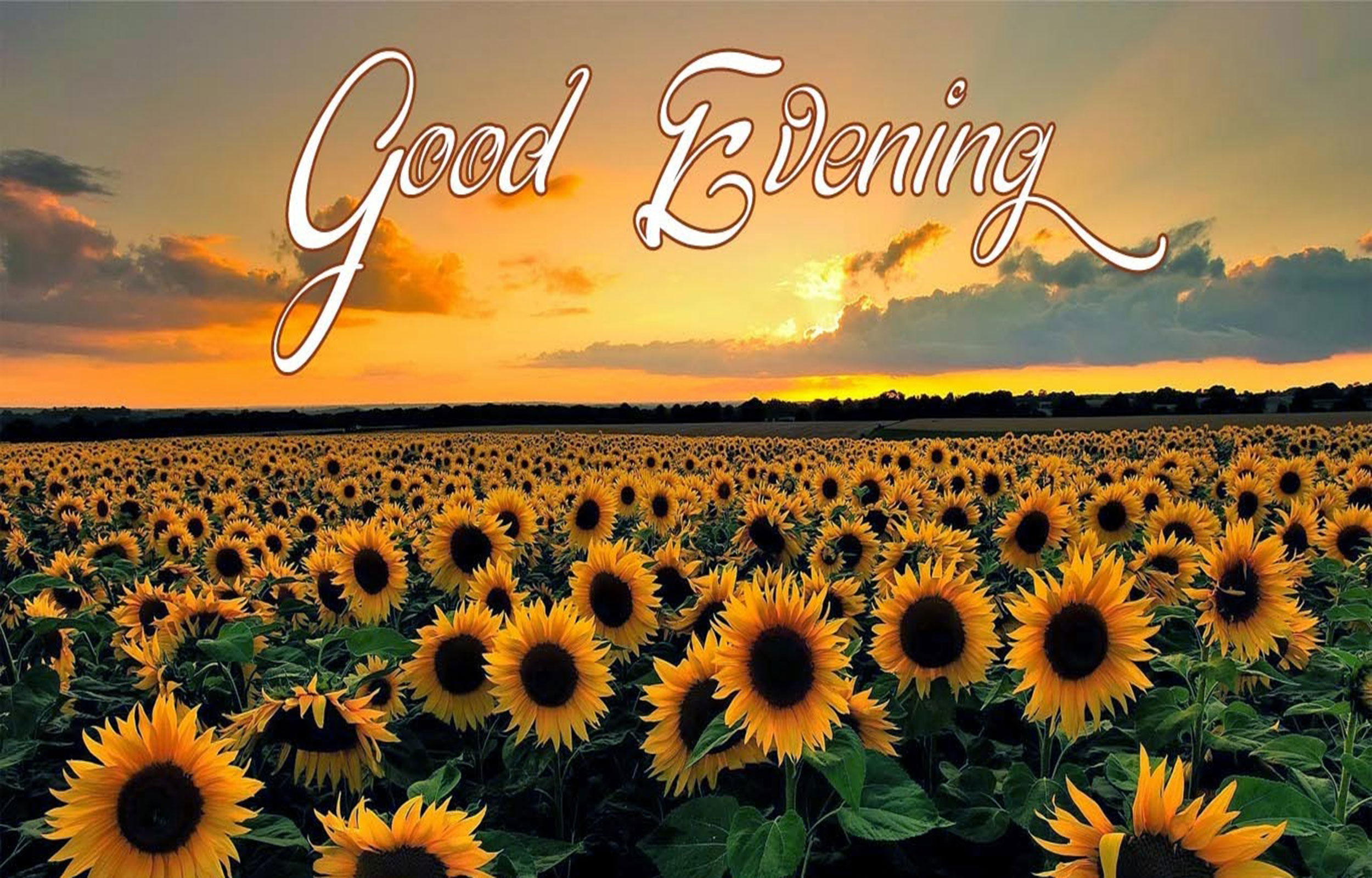good evening sunflower garden